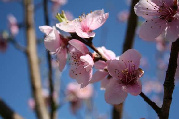peachblossoms