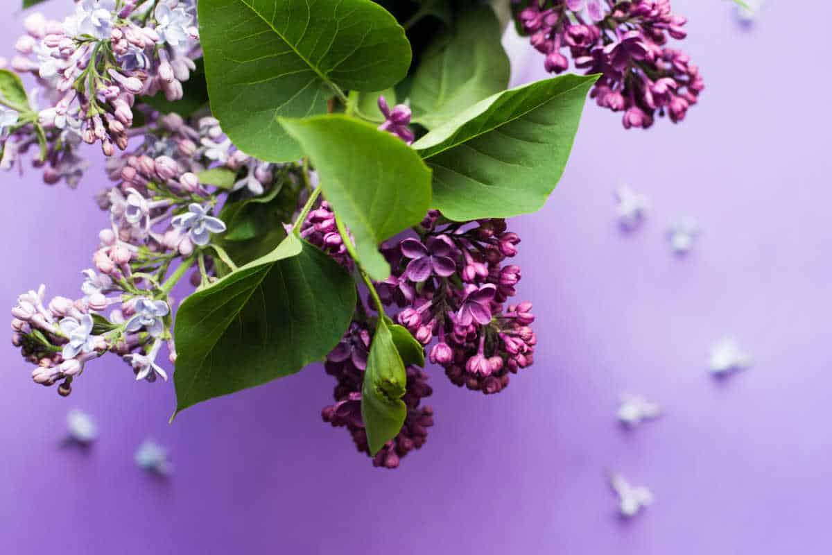 lilacs against a purple tablecloth