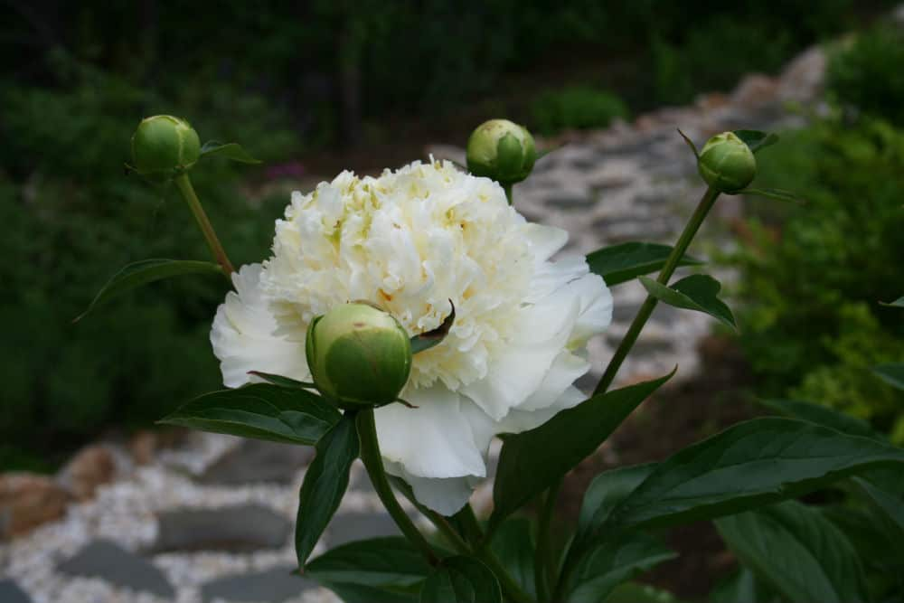 picture of a white peony flower and buds