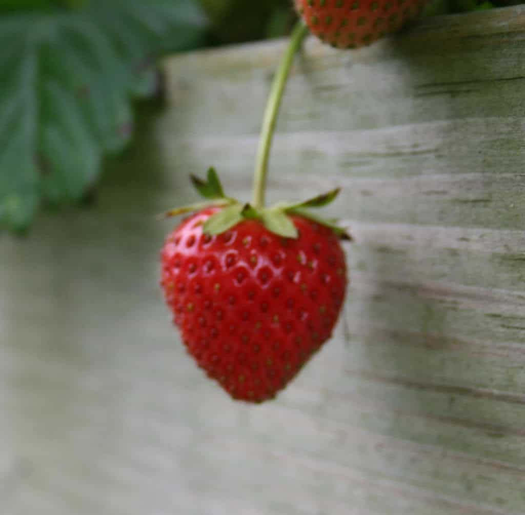 Strawberries in the Home Garden