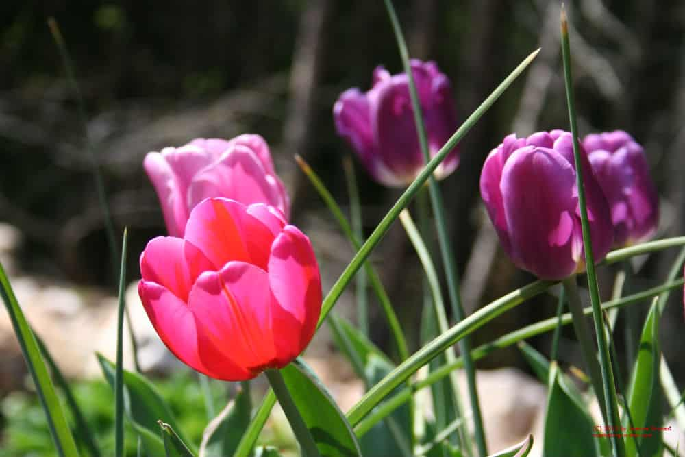 Top 28 How To Plant Tulips Bulbs How To Plant Bulbs With Longfield Gardens Baby Dickey How