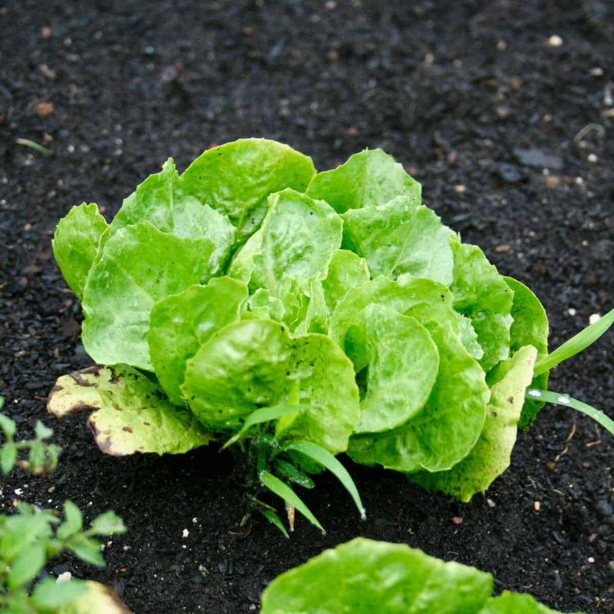 a head of lettuce in a raised bed garden