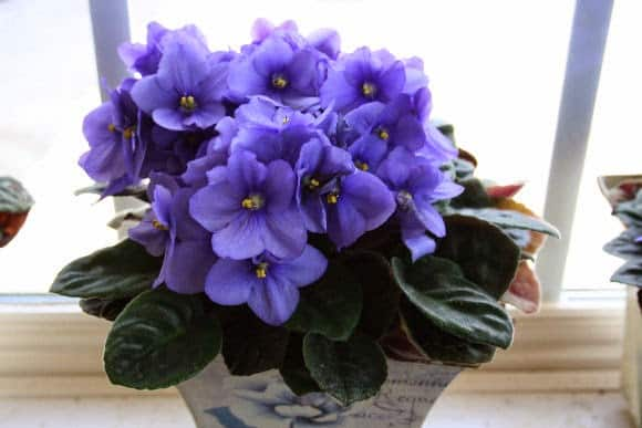 African violet problems home garden joy for Violet home