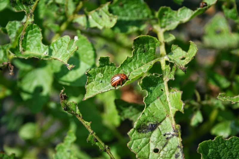 Dealing with Colorado Potato Beetle Infestation
