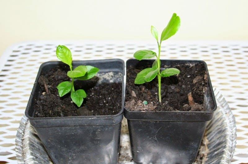 Growing a lemon tree from seeds for What does a lemon tree seedling look like