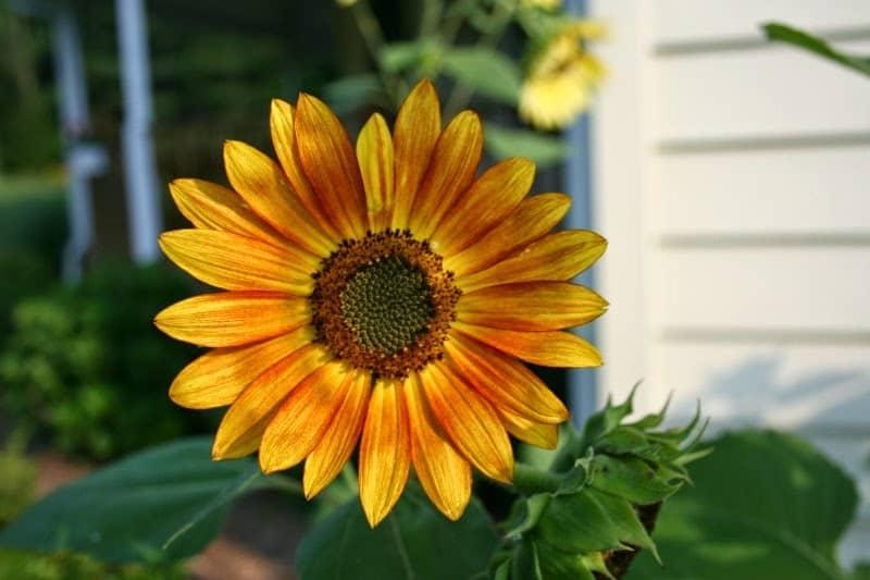 orange-sunflower
