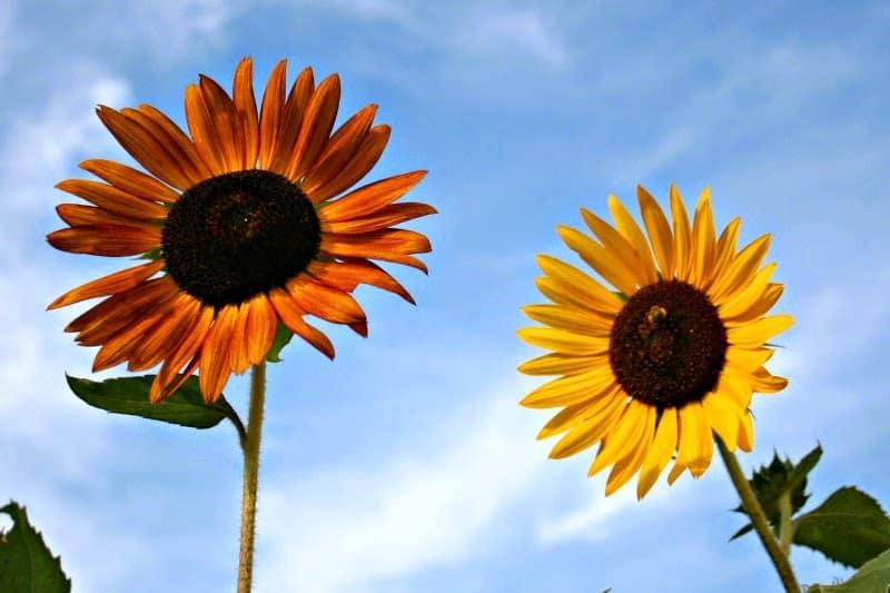 sunflowerduo3