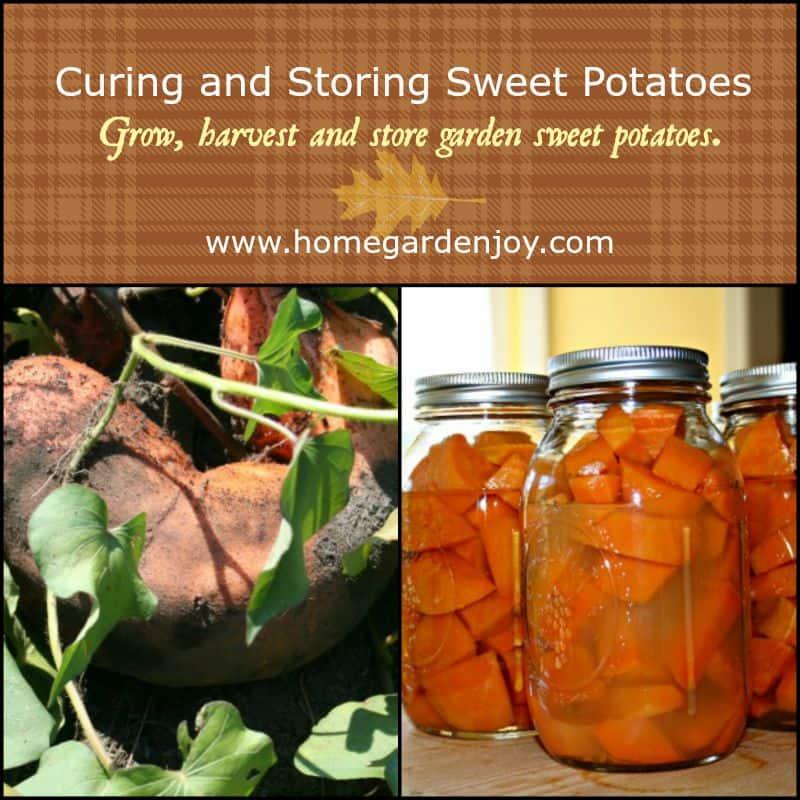 Curing And Storing Sweet Potatoes