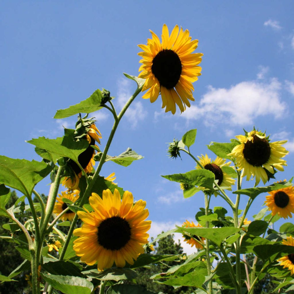 a group of sunflowers blooming against a bright blue sky