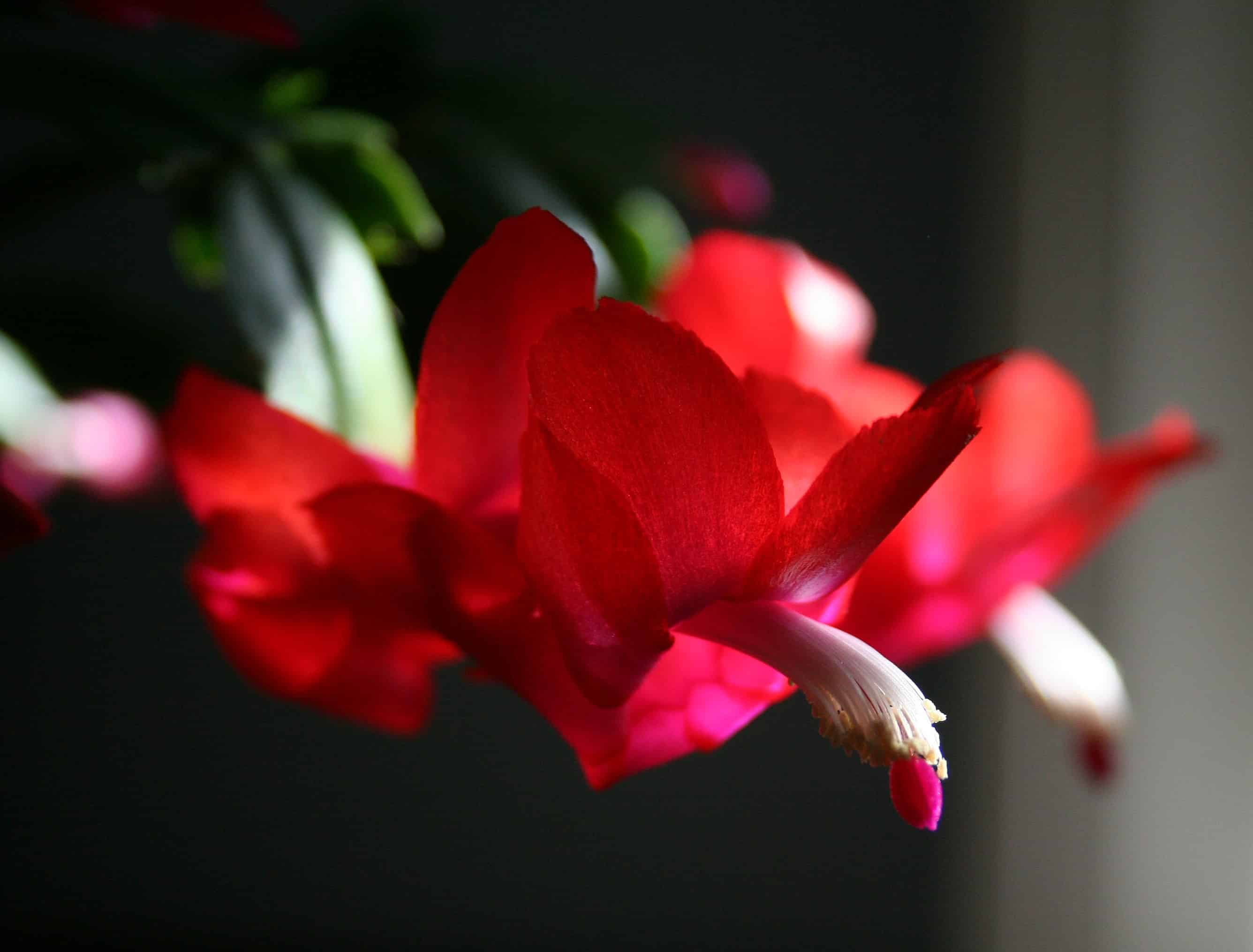 how to get your christmas cactus to bloom home garden joy. Black Bedroom Furniture Sets. Home Design Ideas