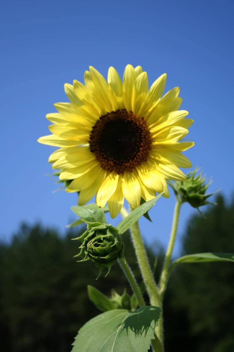 sunflower June 2014
