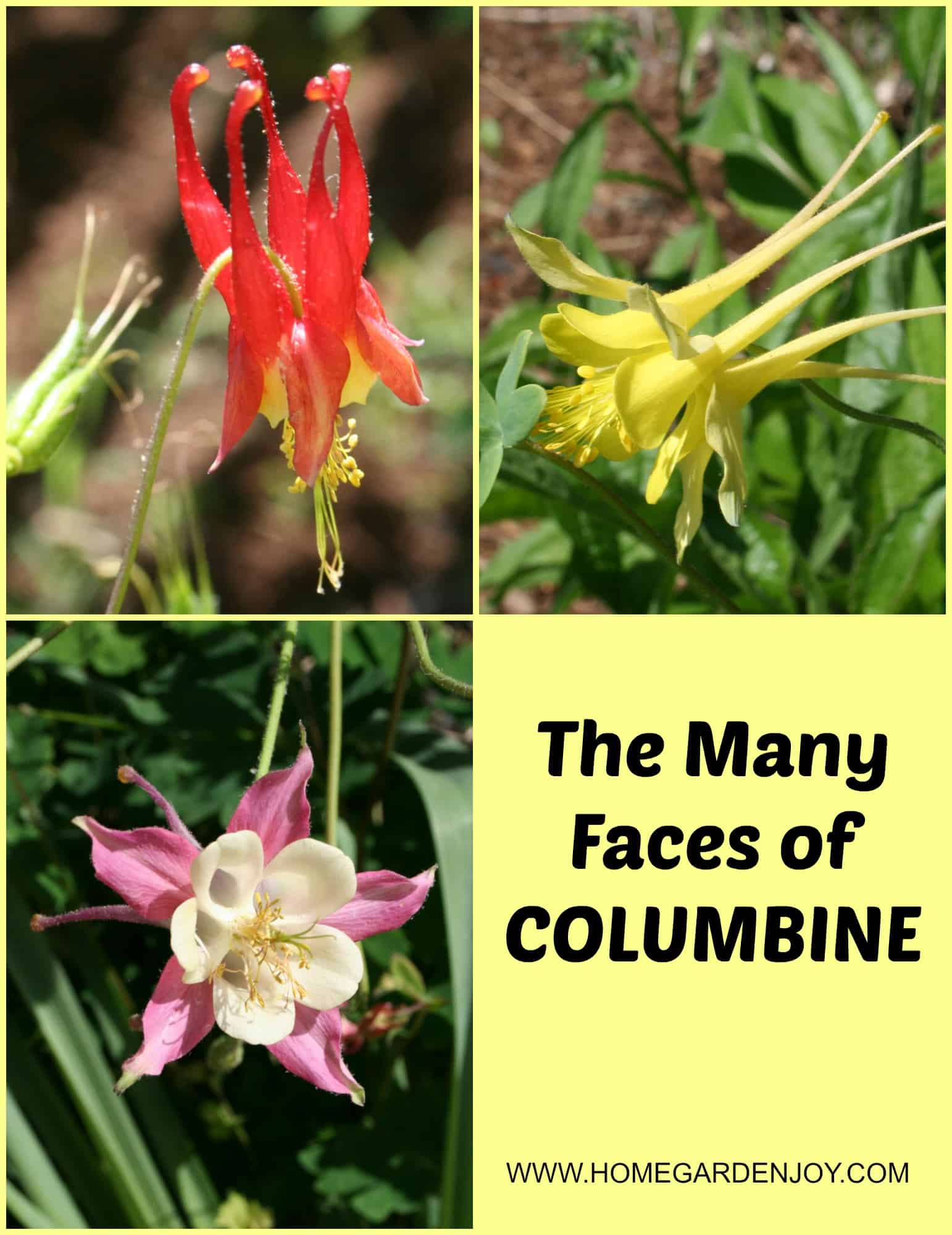 Columbine flower home garden joy columbine collage izmirmasajfo