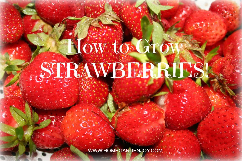 How To Grow Strawberries Home Garden Joy