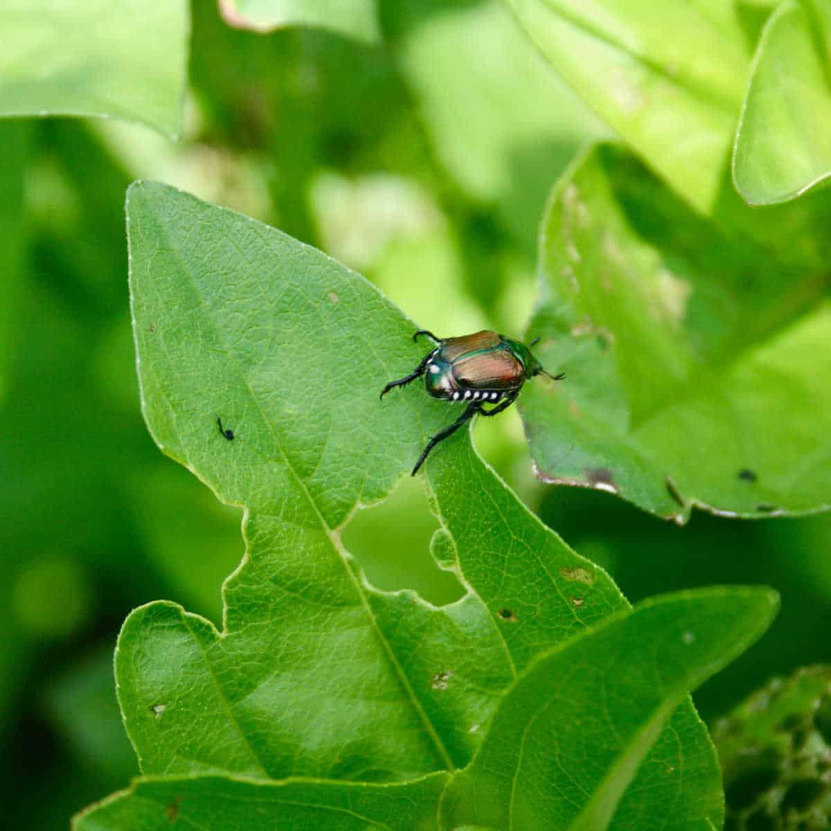 Japanese beetle bug on a zinnia leaf
