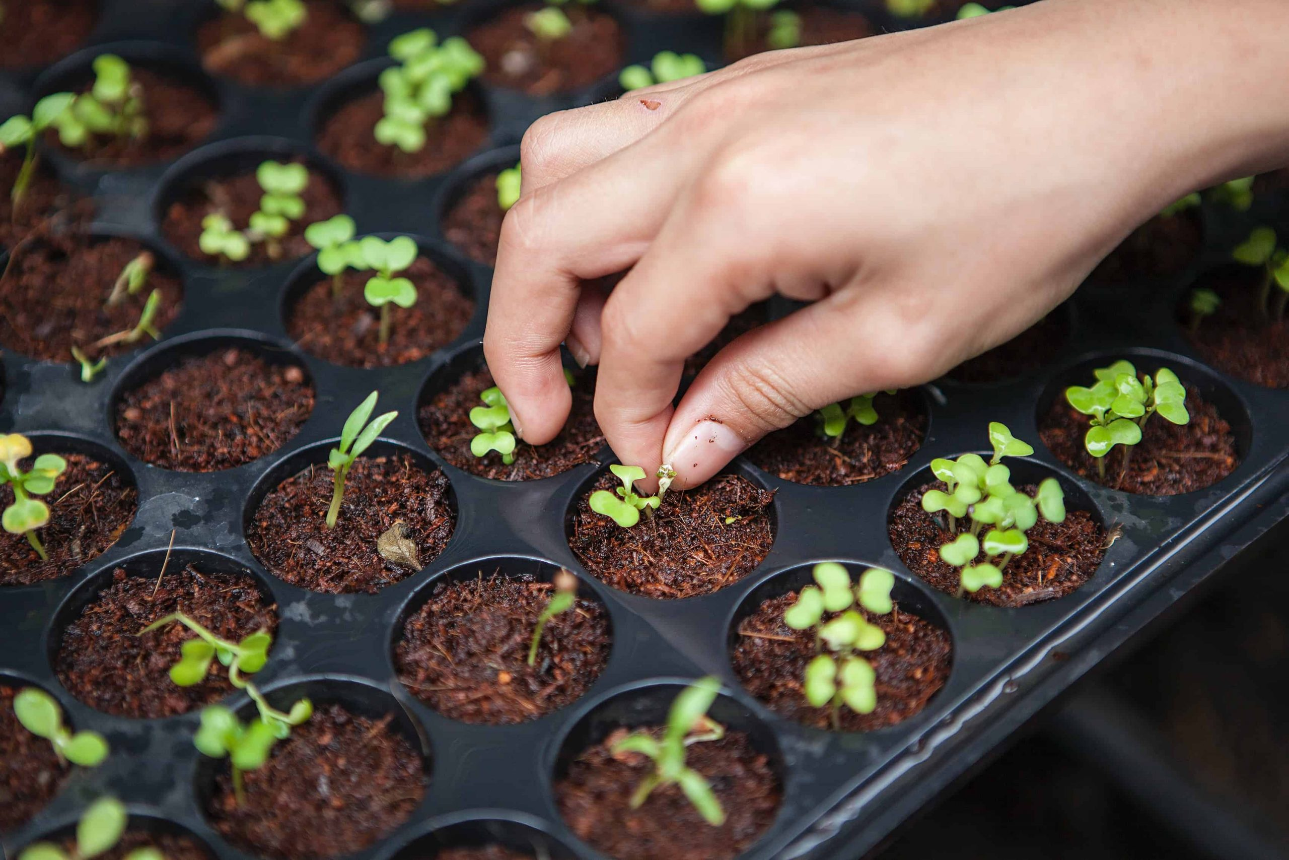 a hand touching a seedling in a seed starting tray