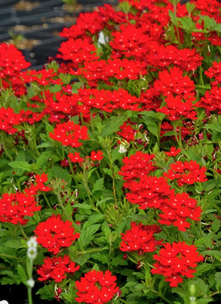 Butterfly Attracting Perennials Home Garden Joy