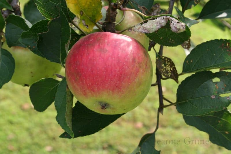 What Fruit Trees Can I Plant?