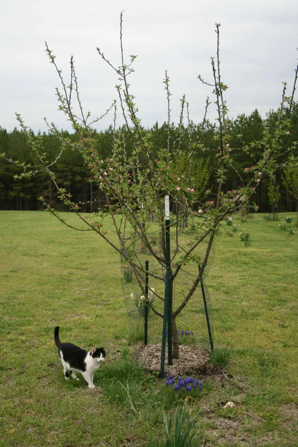 What does dwarf fruit tree mean home garden joy groucho and apple tree buycottarizona