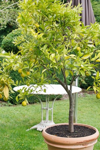 growing fruit trees in containers home garden joy. Black Bedroom Furniture Sets. Home Design Ideas