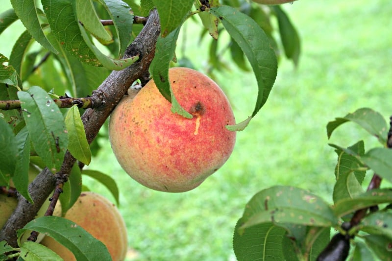 What Does Dwarf Fruit Tree Mean?