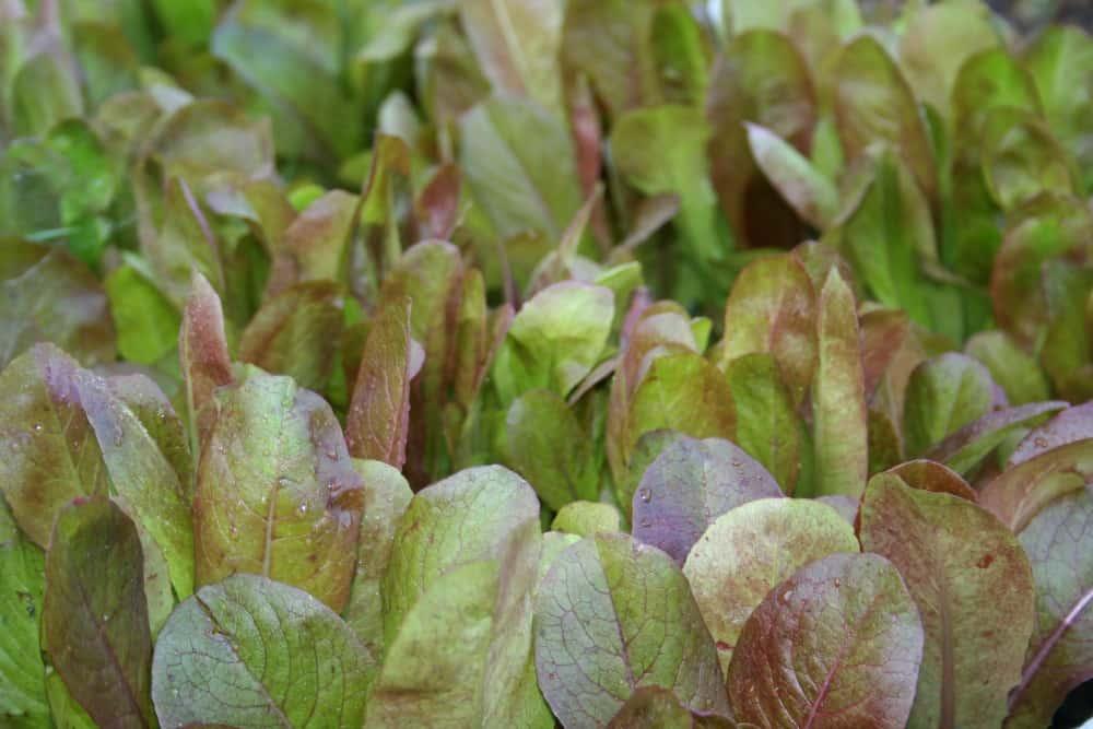 heirloom lettuce