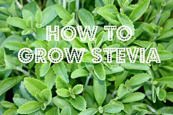 Stevia Plants For Sale | Stevia Rebaudiana | The Growers Exchange | Stevia Plants For Sale