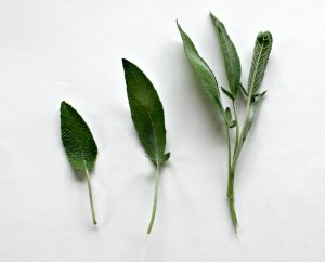 salvia leaves sage leaf