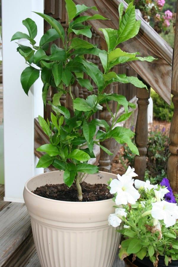 Growing a Lemon Tree from Seeds, an Update