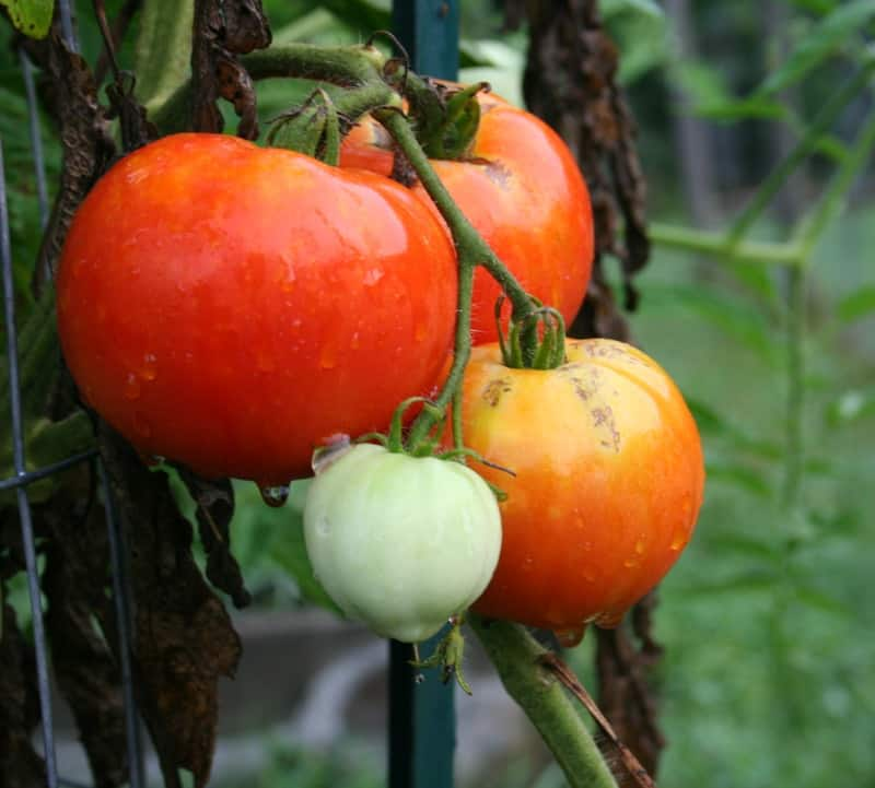 When Should You Start Tomato Seeds Indoors?