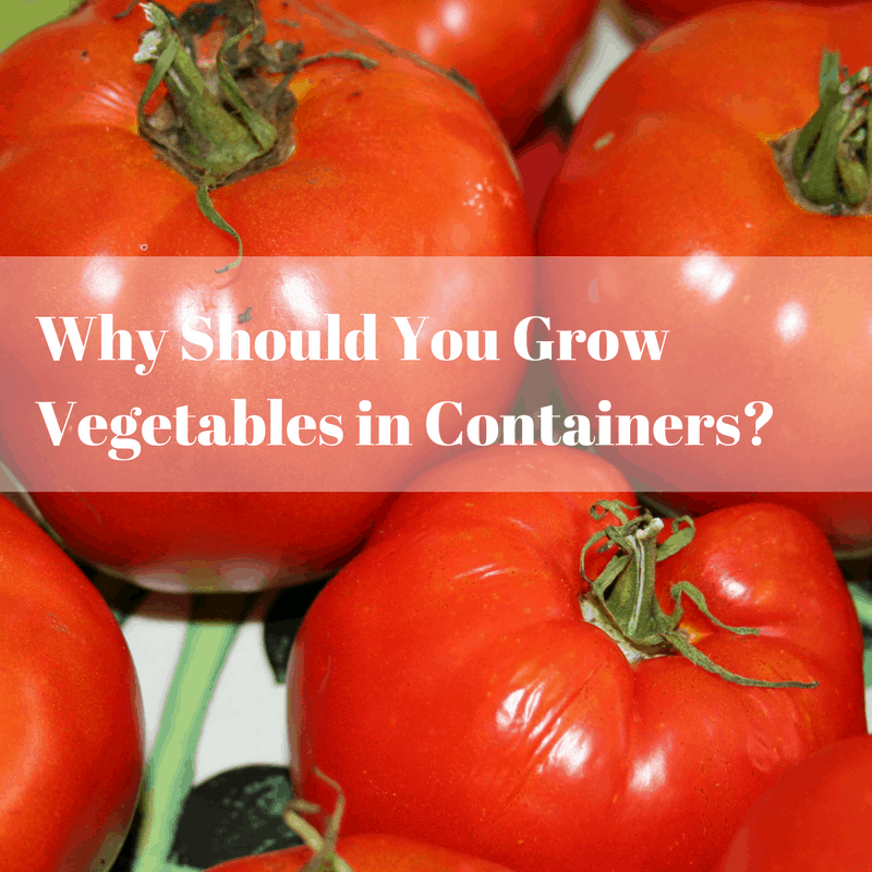 If You Ve Ever Compared The Taste Of A Freshly Picked Tomato With One From Supermarket Know Why Growing Your Own Vegetables Is Better Container