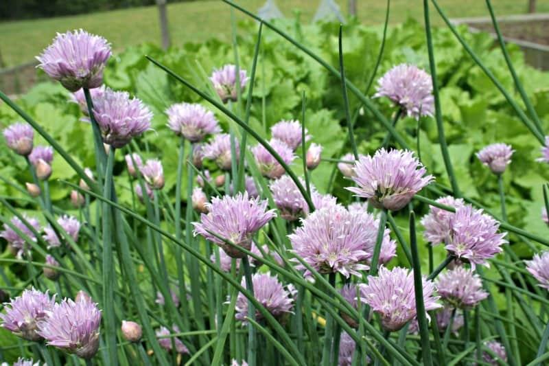 chives in bloom in the garden