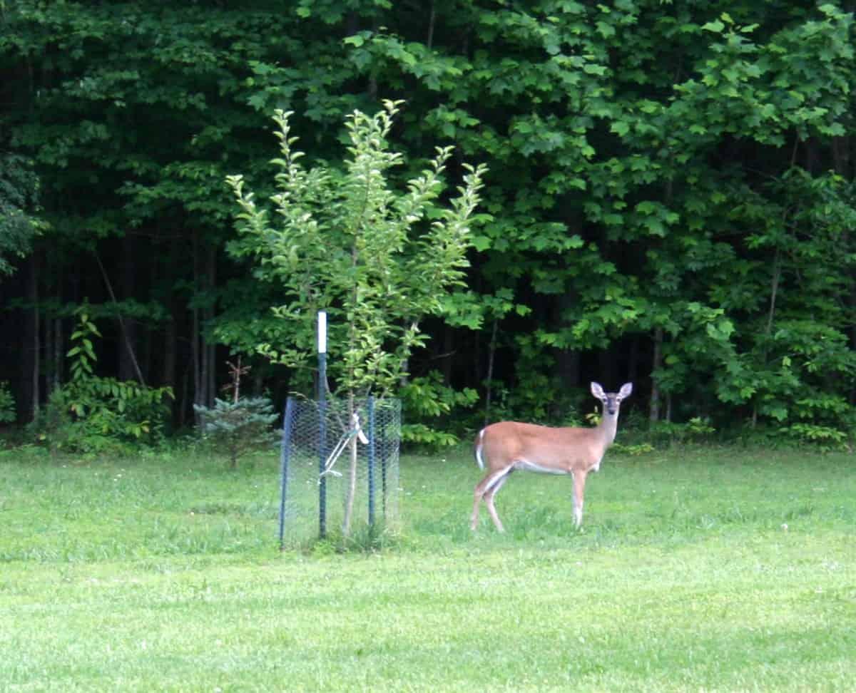 Deer Troubles