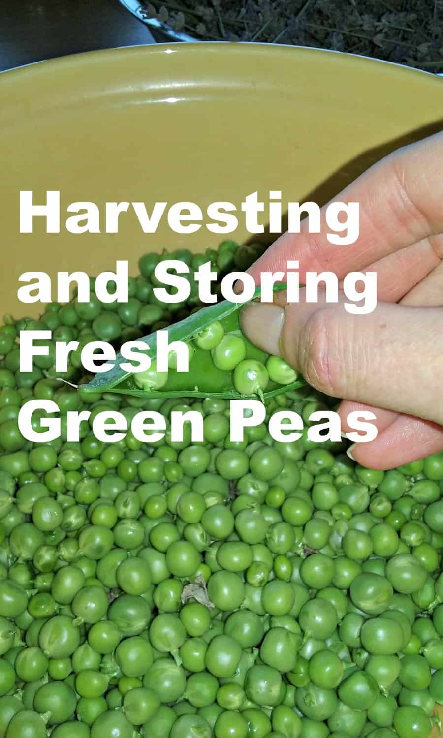 Harvesting and Storing Fresh Green Peas