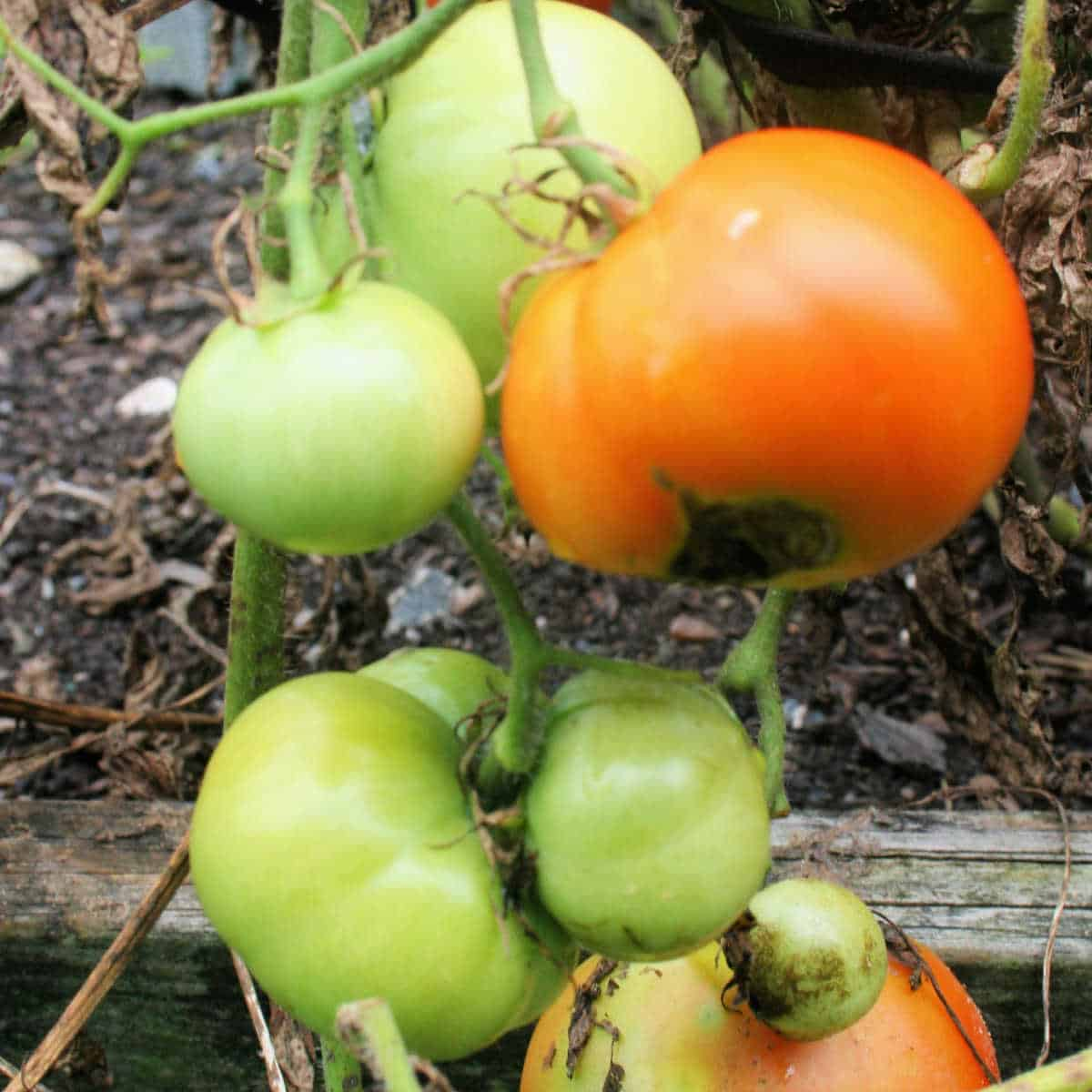 green tomatoes and one red tomato with blossom end rot still on the plant