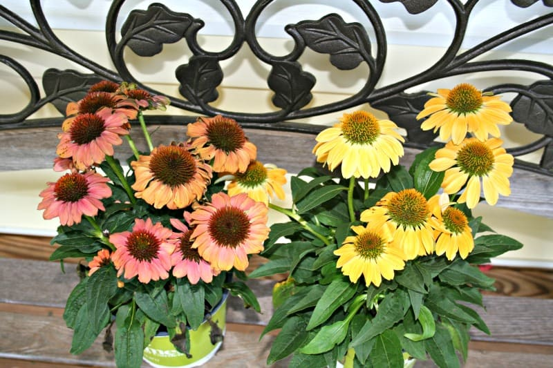 picture of unusual colors of echinacea