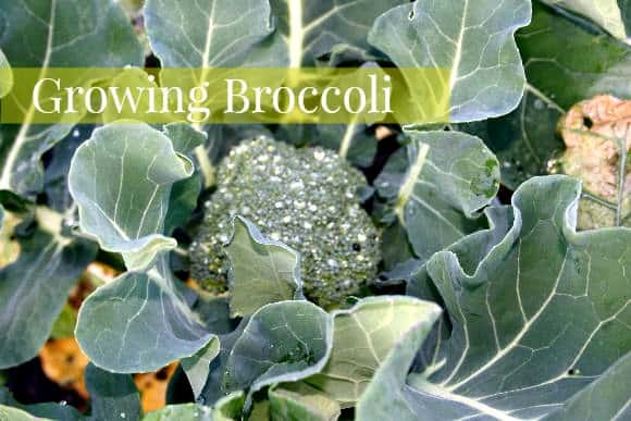 Fall Vegetable Garden: How to Grow Broccoli
