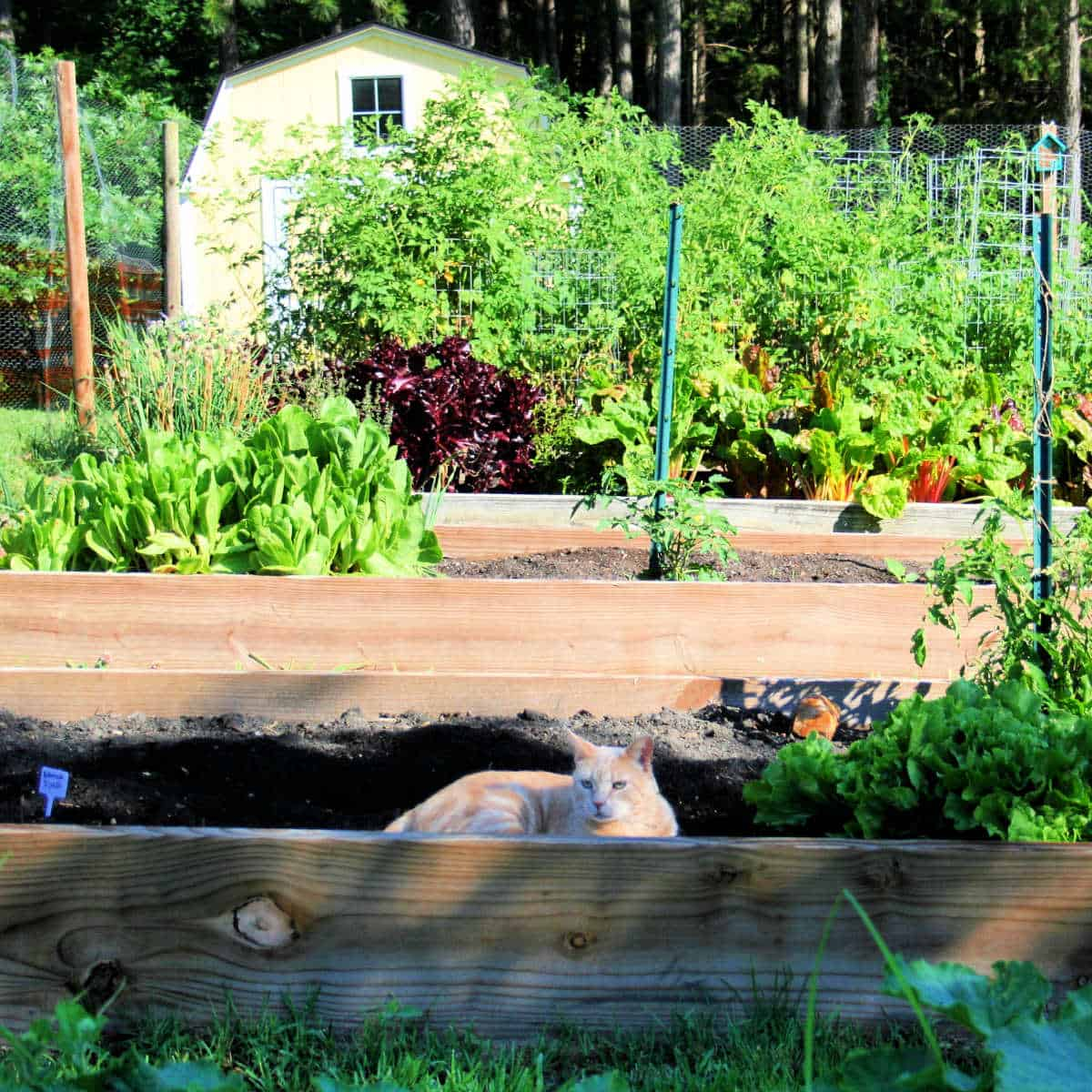a ginger cat laying in a raised bed in a vegetable garden with a yellow shed in the background
