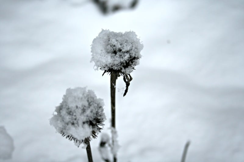 photo of echinacea in the winter