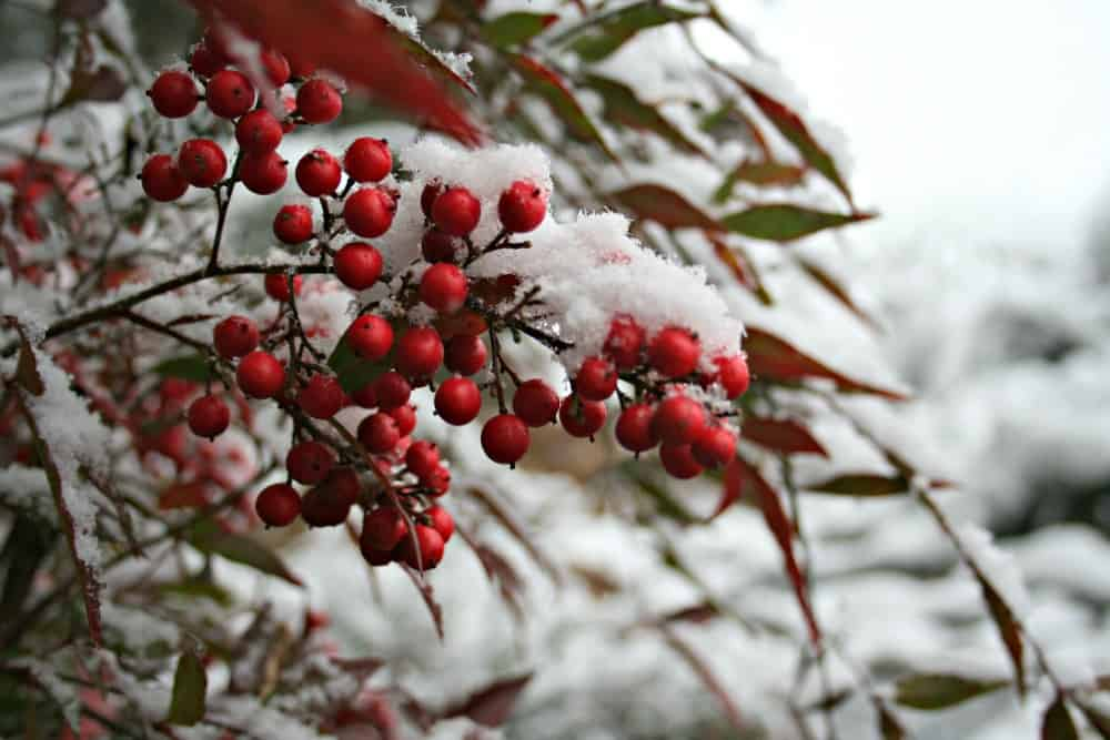 Does Snow Hurt the Garden or Plants?