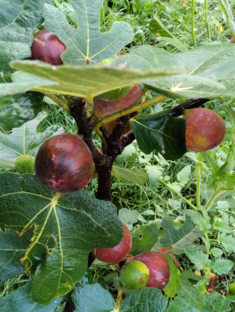 a fig tree growing in Virginia filled with ripe figs