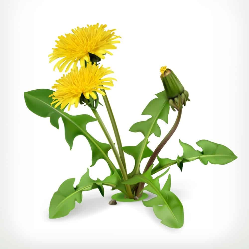 Dandelion Greens: Weeds or Food?