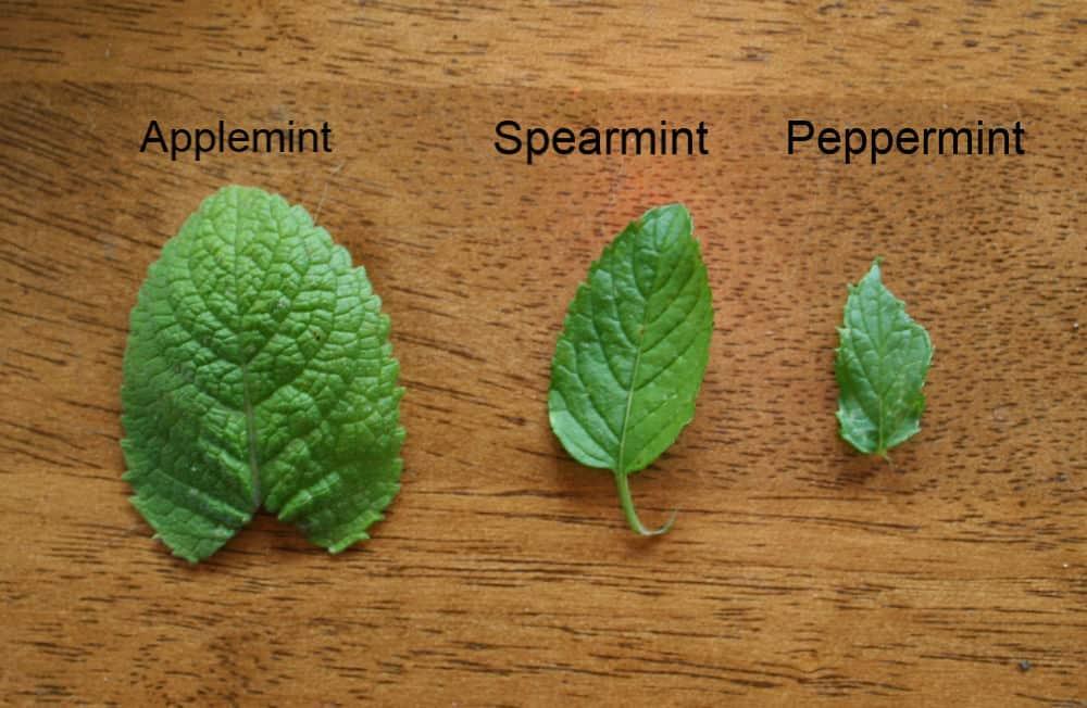 identify types of mint