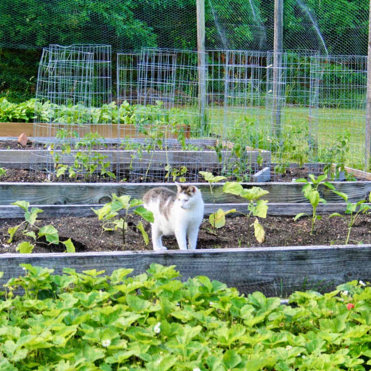 cat in a raised bed garden