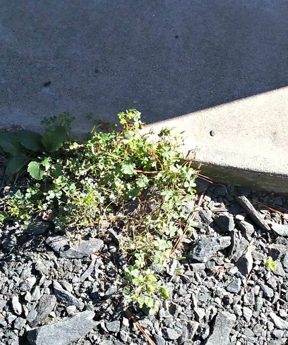 clover in the driveway