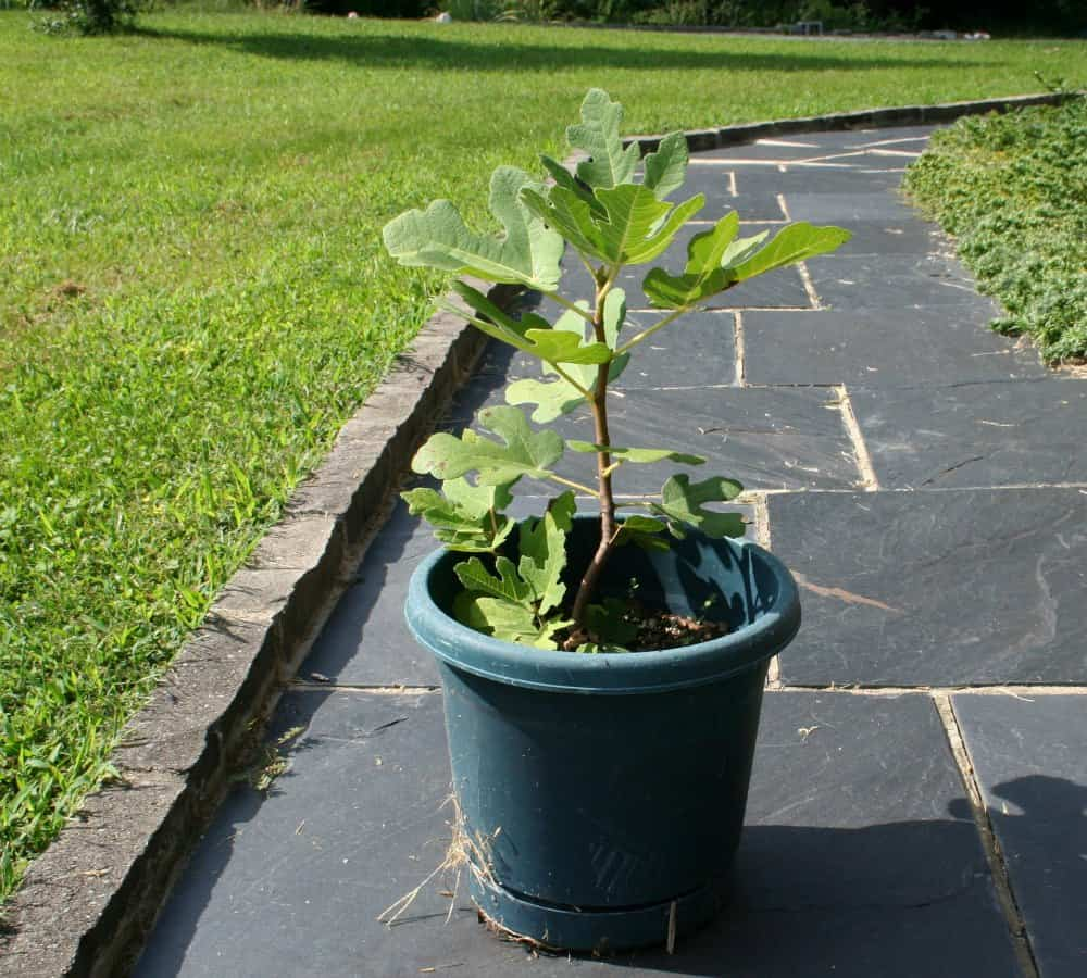 picture of Chicago hardy fig tree.