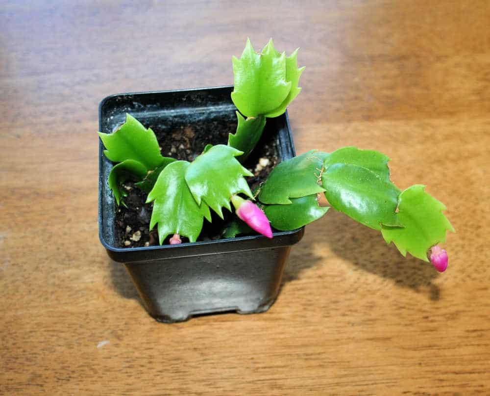 Propagating Christmas Cactus.How To Propagate A Christmas Cactus Home Garden Joy