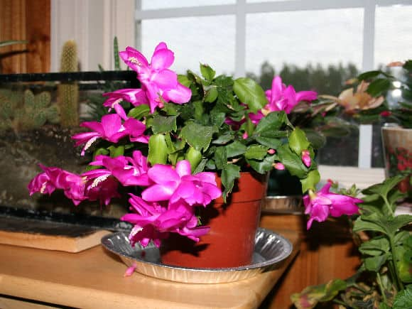 how to propagate Christmas cactus