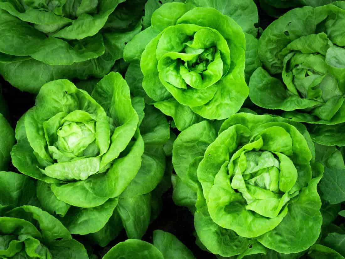 photo of buttercrunch lettuce