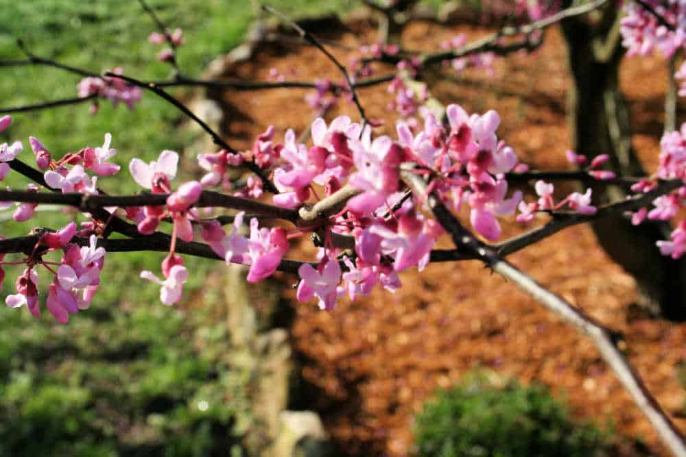 closeup of redbud flowers
