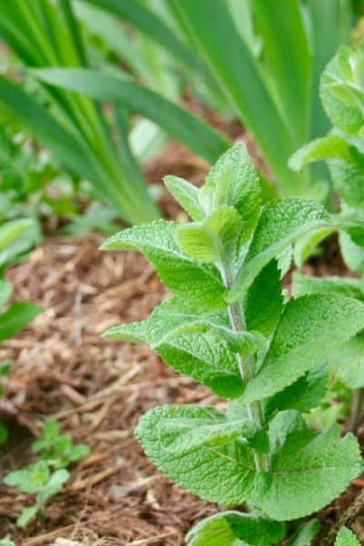 applemint or apple mint herb